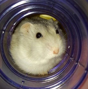 dwarf hamster in a tube